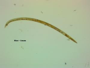 worm-0004-1mm