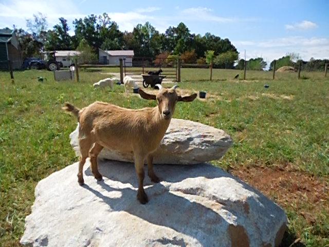 The JJ Goat